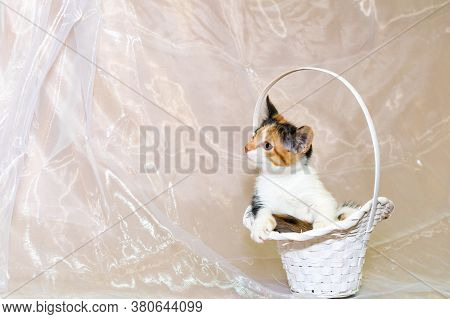 Cute Little Tricolor Kitten From The Shelter, Sitting In A White Wicker Basket On A White Background