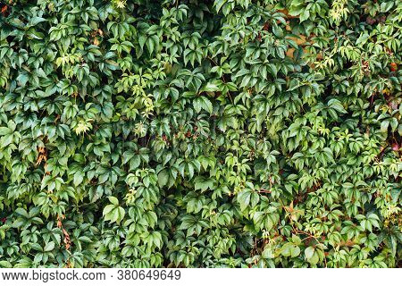 Climber Plant Background. Creeper Plant Texture. Gedge Bush Pattern. Natural Summer Wall. Home Outdo