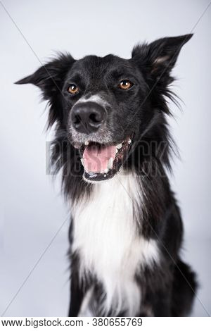 Full Length Portrait Of An Adorable Purebred Border Collie Looking Annoyed Isolated On Grey Backgrou