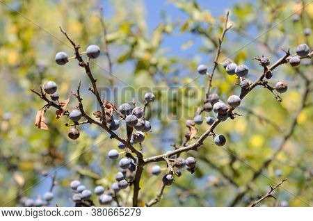 Blackthorn Berries Ripen On The Bushes In Late Summer. Shallow Depth Of Field