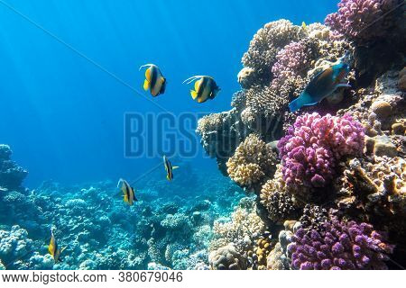 Pennant Coralfish (longfin Bannerfish), Butterflyfish (chaetodon) And Parrotfish In Colorful Coral R