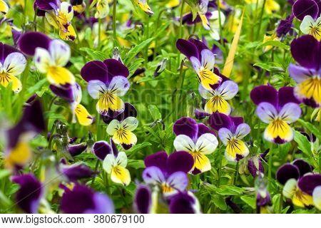 Beautiful Spring Pansy Flowers (violet, Viola Tricolor, Heartsease), Flowerbed With Blooming Flowers
