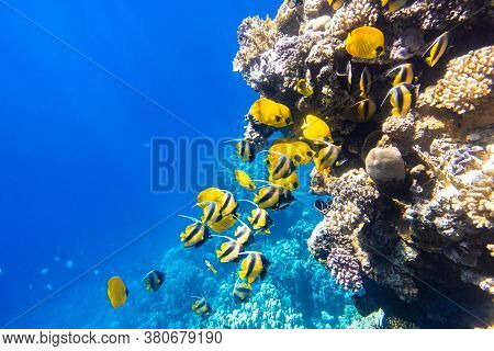 Large School Of Butterflyfish (chaetodon) In The Coral Reef, Red Sea, Egypt. Different Types Of Brig