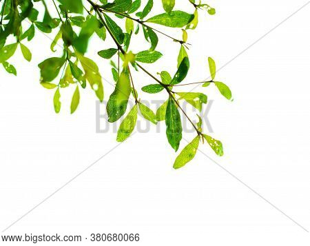 Green Leaves And Branches On White Background For  Environment Texture .earth Day Concept. Environme