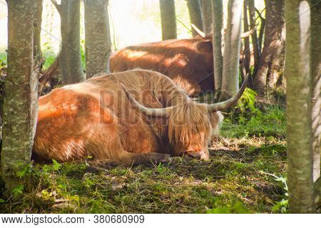 Close Up Of Scottish Highland Cow At The Forest. Sleeping Highland Cattles. Scottish Breed Is A Rust