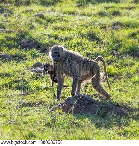 Olive baboon and baby in the Masai Mara, Kenya, walking the the lush green grass in the afternoon sunshine. Square format