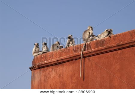 Troupe of Languor monkeys on the red colored wall of Jaigarh Fort. Jaipur Rajasthan India poster