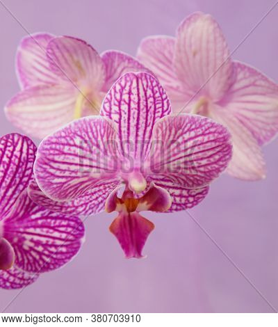 Macro View Of Orchid Flowers. Pale Pink Speckled Phalaenopsis.