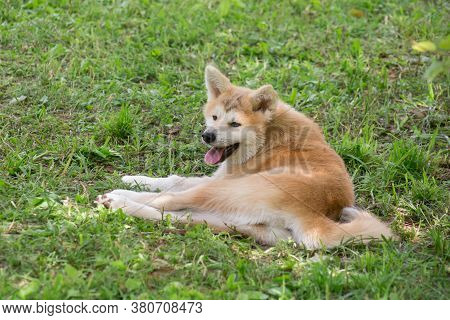 Akita Inu Puppy Is Lying On A Green Grass In The Summer Park. Japanese Akita Or Great Japanese Dog.
