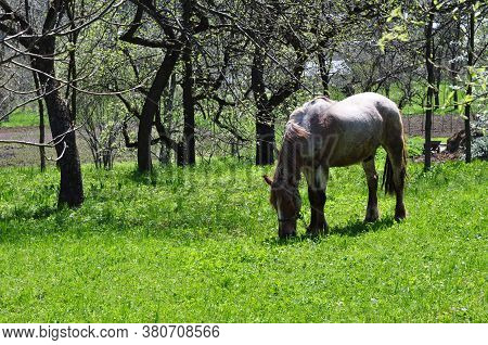 The Horse Grazes On The Green Young Grass In The Spring.