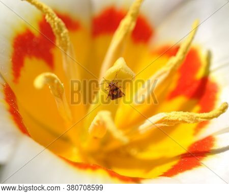 A Garden Bedbugs Sit In A Tulip. The Core Of The Flower.