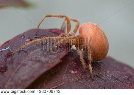 Red Big Spider On A Colored Leaf Of Girl Grapes.