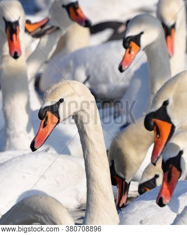 Lots Of Swans. Group Portrait Of Graceful Birds In The Winter.