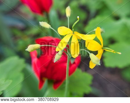 The Yellow Flowers Of Chelidonium . There Are Red Tulips In The Background.