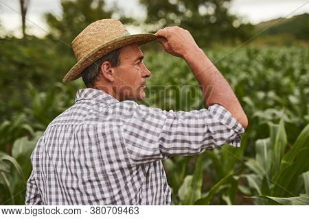 Back View Of Mature Rancher Touching Hat And Looking Away While Standing In Green Corn Field On Summ