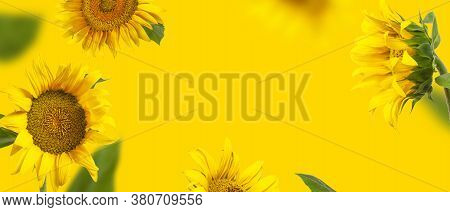 Creative Background With Flying Yellow Sunflowers, Green Leaves Flat Lay. Frame From Beautiful Sunfl