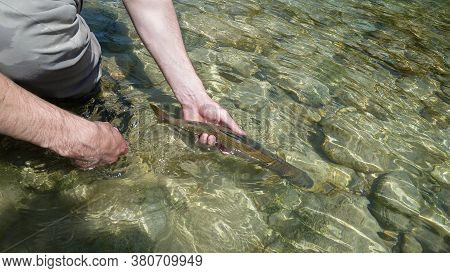 Catch And Release - A Grayling Fish Being Released Back Into A River By A Fisherman On The Soca Rive