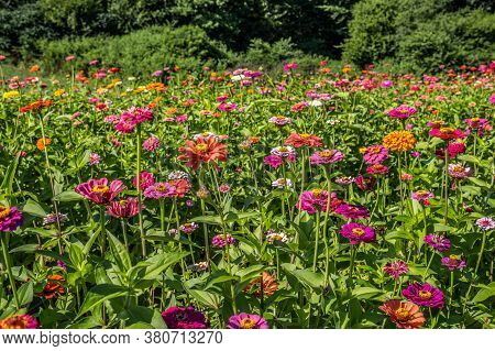 Variety Of Vibrant Multicolored Zinnias Upright Closeup In A Farm Field In Full Bloom With The Woodl