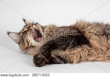 Cute Tabby Cat Of Maine Coon Breed With Green Eyes Tumbles On White Background With Opened Mouth, As
