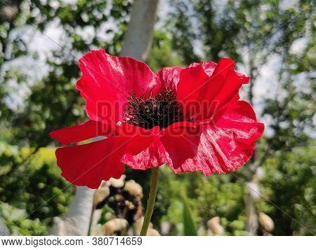 Beautiful Bright Red Poppy Flower In Summertime