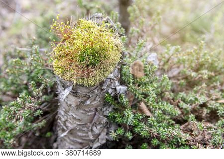 Moss On A Shrub In The North Scandinavian Boreal Forest