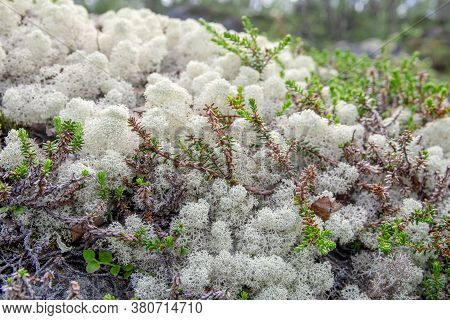 White Reindeer Lichen Background Pattern In The North Boreal Forest