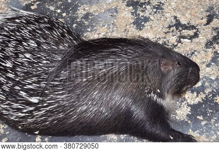 Porcupine (latin. Hystrix) Genus Of Rodents