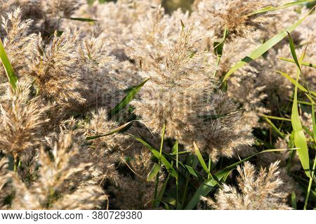 Close-up Of A Phragmites Australis Reed. Hairs, Leaves, And Stems Of The Common Wetland Grass.