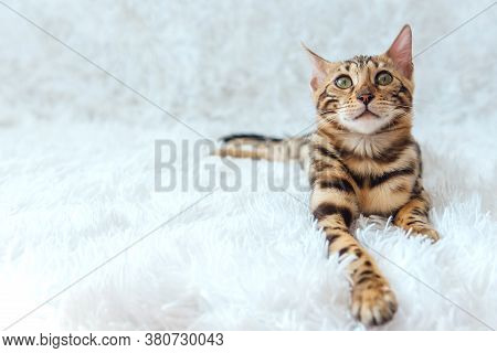 Young Bengal Kitty Cat Laying On The White Background.