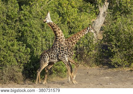 Two Dark Brown Adult Giraffe Male Fighting In The River Bed By Green Bush In Chobe National Park In