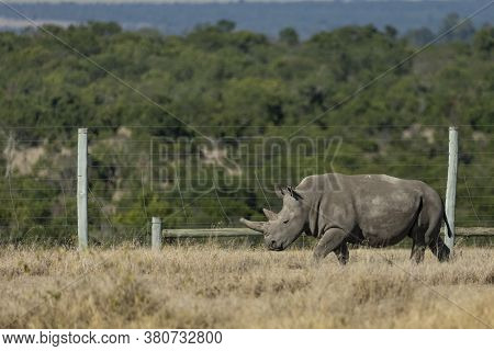 Very Rare And Endangered Northern White Rhino With Large And Blunt Horn Walking Along Fence In Ol Pa