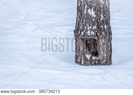 A Tree Trunk With Snow In Winter. The Trunk Of A Birch Tree Covered With Snow. Nature In Winter. Tre