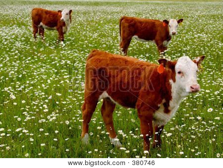cows grazing in the daisies. poster