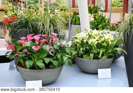 Beautiful Mix Colors Calla Lily Or Arum Lily Flowers Growing In Gray Ceramic Pot On Table With Backg