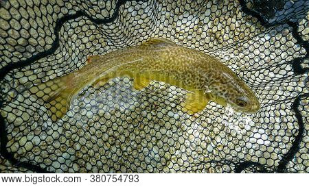 A Rare Marble Trout In A Fishing Net After Being Caught, About To Be Released, Back Into The Soca Ri