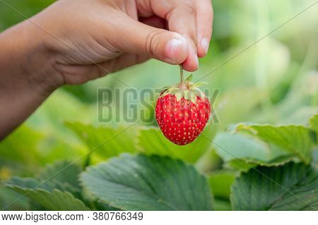 Ripe Strawberry In A Child's Hand, Picking Strawberries In Summer, Harvest Berries, Summer Season Of