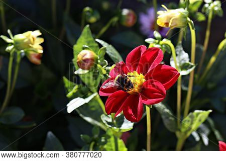Nature. Bumblebee Collects Nectar From Dahlia Flower.