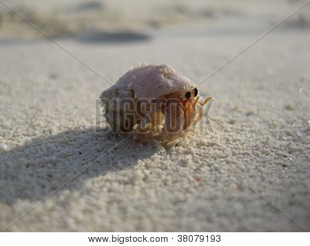 Maldivian Hermit Crab coming out of his shell on one of the white sandy beaches poster