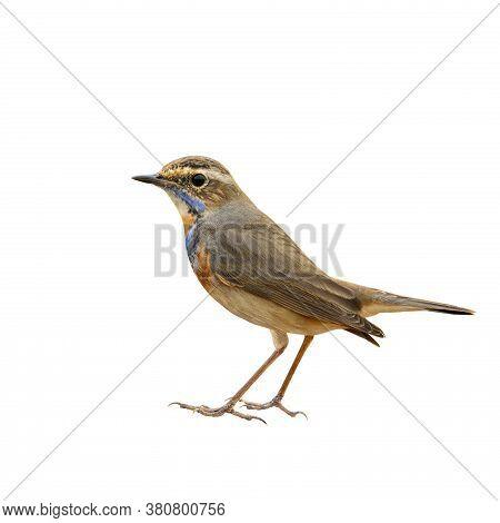 Bluethroat (luscinia Svecica) Beautiful Bworn Bird With Blue And Orange Neck And Fine Tail Lifting I
