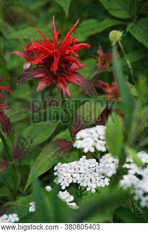 Red Bergamot, Monarda Flower And Yarrow Flower In A Thicket Of Bushes In Summer. Monarda Is A Genus