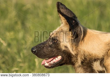 A Close Up Of A Wild Dog's Face Photographed From The Side. Dog Is Panting & Alert.