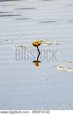 Yellow Water Lily Poking Out Of The Surface Of The Water On Hickey Lake In Duck Mountain Provincial