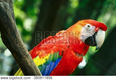 Red Macaw Parrot Sitting On The Twigs With Blurry Natural Background
