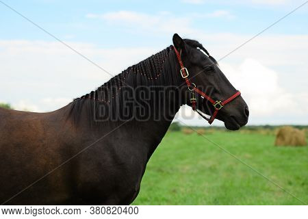 One Bay Horse With The Red Halter And Its Plaited Mane Is Standing On The Beveled Field.