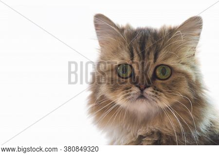 Cute Chinchilla Persian Kitten Cat Waiting And Looking For The Owner Near The Window With Light. Por