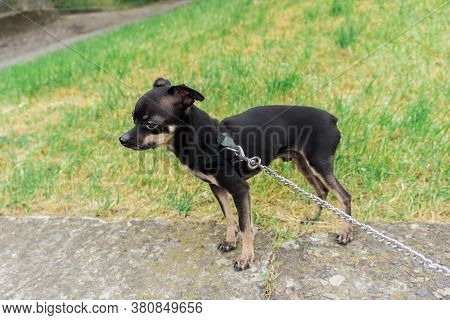 Little Tame Toy Terrier. Obedient, Handsome, Thoroughbred. Cute And Small Tame Puppy With A Metal Le