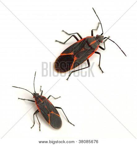 Boxelder Bugs