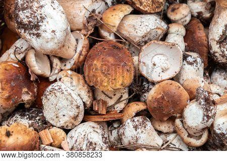 Close Up Of Raw Edible Mushrooms Boletus Edulis. Fresh Mushrooms Background. Selective Focus
