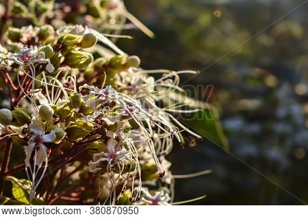 Clerodendrum Infortunatum, Known As Bhat Or Hill Glory Bower, Is A Perennial Shrub Belonging To The