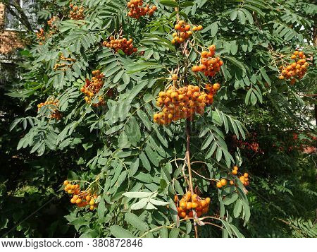 Orange Rowan Berries And Openwork Leaves On Rowan Branches, Selective Focus, Blurred Background